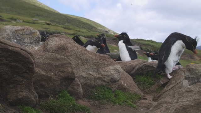 rockhopper penguins hop down rocks very close to camera with other penguins and grass in background - mittelgroße tiergruppe stock-videos und b-roll-filmmaterial