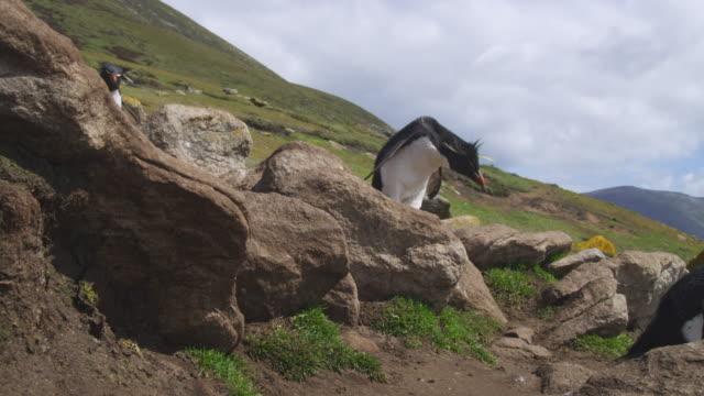 vídeos de stock, filmes e b-roll de rockhopper penguins hop down rocks with grass in background - grupo pequeno de animais