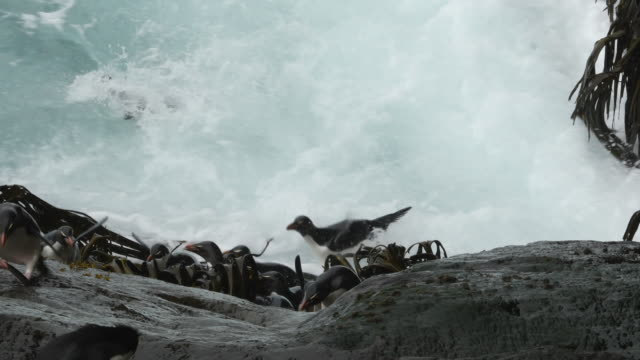 rockhopper penguins hop up near-vertical cliff, falkland islands - penguin stock videos & royalty-free footage