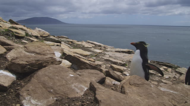 vídeos y material grabado en eventos de stock de rockhopper penguins hop up rocks very close to camera with sea in background - cinco animales