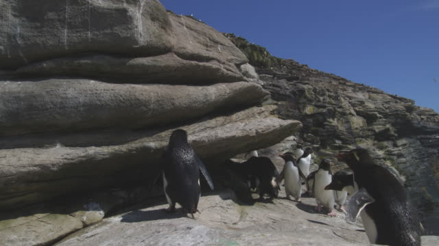 rockhopper penguins jump up rock face close to camera - rock face stock videos & royalty-free footage