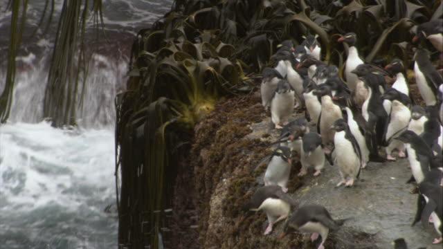 stockvideo's en b-roll-footage met ms, ha, rockhopper penguins jumping from cliff into ocean, new island, antarctica - atlantische eilanden