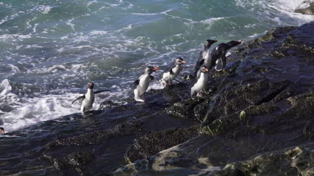 rockhopper penguins leap from ocean to climb cliff to rookery, saunders island, falkland islands - atlantikinseln stock-videos und b-roll-filmmaterial