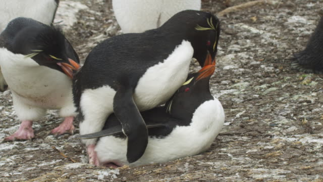 SLOMO MS Rockhopper Penguins mating with third penguin pecking male