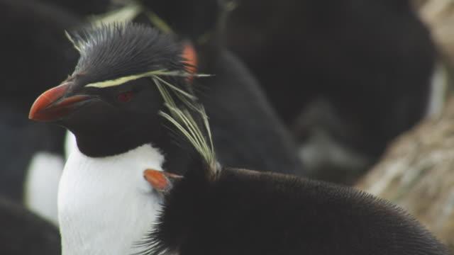 cu rockhopper penguins mutual grooming - gruppo medio di animali video stock e b–roll