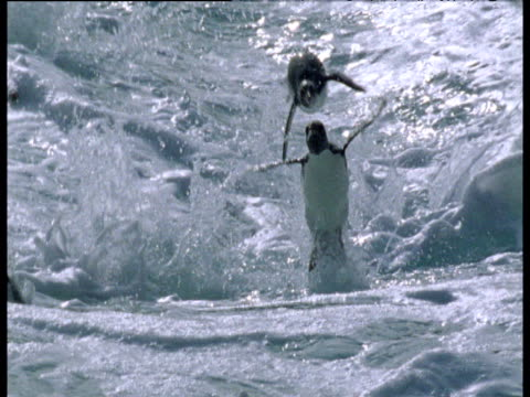 rockhopper penguins porpoise in rough surf, falklands - bbc stock videos and b-roll footage