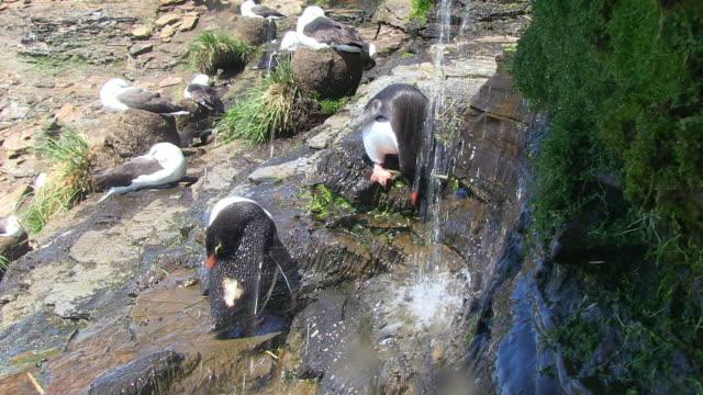 2 rockhopper penguins showering under waterfall and preening - preening animal behavior stock videos & royalty-free footage