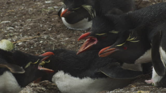 slomo ms rockhopper penguins squabbling in colony - mittelgroße tiergruppe stock-videos und b-roll-filmmaterial