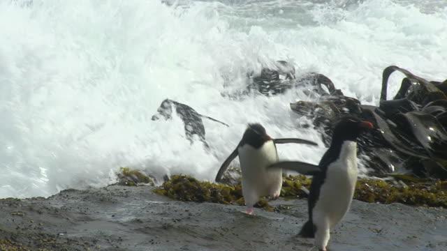 vídeos de stock e filmes b-roll de rockhopper penguins stand nervously on rock then run away from breaking wave - cinco animais