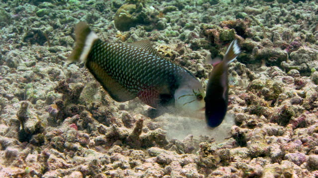 rockmover wrasse (novaculichthys taeniourus) foraging in coral rubble. a triggerfish accompanies it, opportunistically looking for uncovered prey. filmed off sulawesi, indonesia - rubble stock-videos und b-roll-filmmaterial