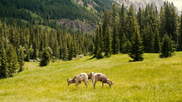 rocky bighorn sheep in the mountains of canada in yoho national park - bighorn sheep stock videos & royalty-free footage