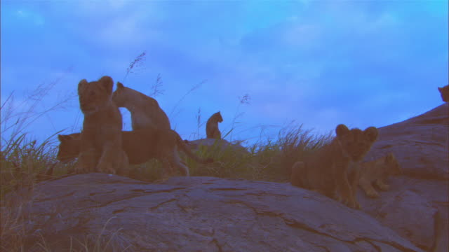 MS rocky outcrop with African lionesses and cubs moving around in twlight slightly silhouetted ZO to WS
