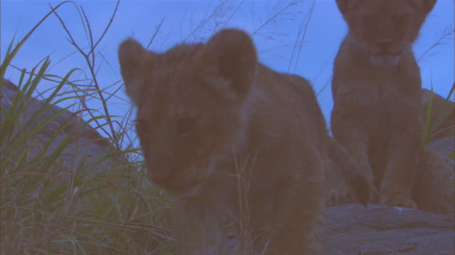 CU rocky outcrop with group of African lion cubs moving around in twlight slightly silhouetted ZO to WS nervously looking  into lens and exploring the rock