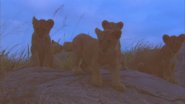 MS rocky outcrop with group of African lion cubs moving around in twlight slightly silhouetted ZO to WS