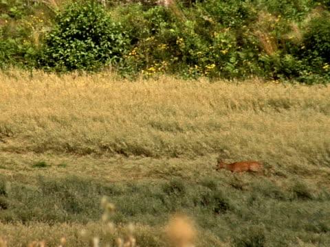 vídeos y material grabado en eventos de stock de ciervo corzo 03 - cervato