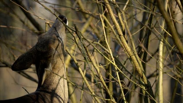 roe deer, capreolus capreolus, in winter, europe - femmina di daino video stock e b–roll
