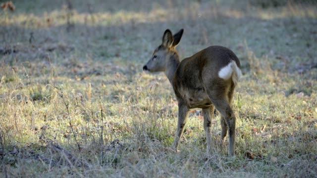 vídeos de stock, filmes e b-roll de roe deer, capreolus capreolus, in winter, europe - corça
