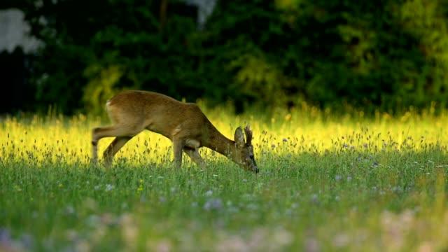 roe deer, capreolus capreolus, roebuck at sunset - antler stock videos & royalty-free footage