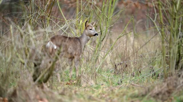 roe deer, capreolus capreolus, winter, hesse, germany, europe - hirsch stock-videos und b-roll-filmmaterial