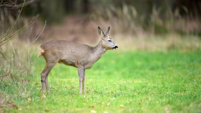 Roe Deer, Capreolus capreolus, Winter, Hesse, Germany, Europe