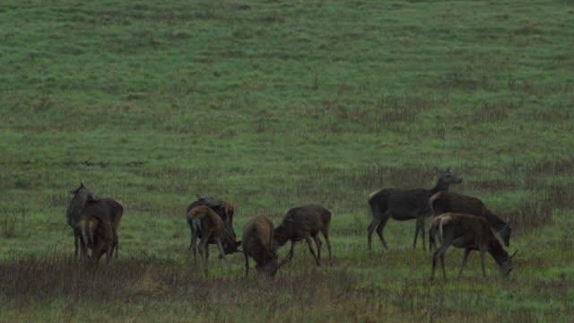 roe deer in the field - hoofed mammal stock videos & royalty-free footage