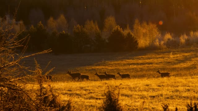roe deer in the meadow at sunrise - deer stock videos & royalty-free footage