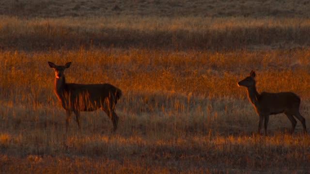 roe deer in the meadow at sunrise - deer stock videos & royalty-free footage