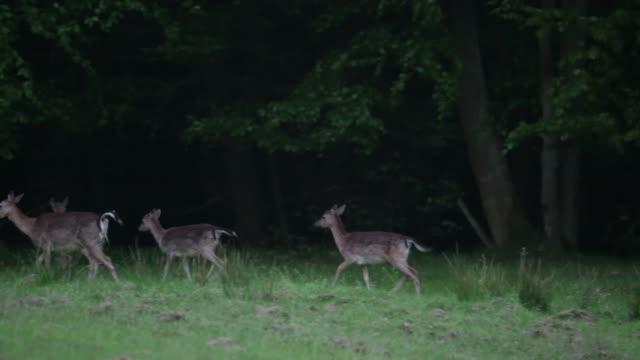 roe deer (capreolus capreolus) run at forest edge - deer stock videos & royalty-free footage