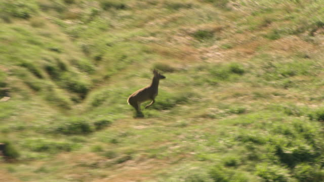 vidéos et rushes de a roe deer running at the baekrokdam summit of hallasan (the highest mountain in south korea), jeju island - famille du cerf