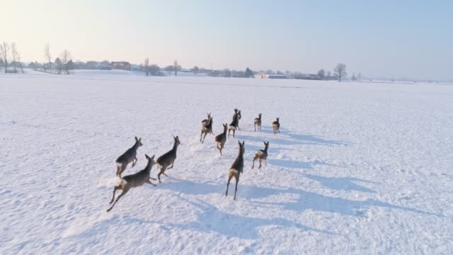 vídeos de stock e filmes b-roll de ms roe deer running in snow covered rural field - veado