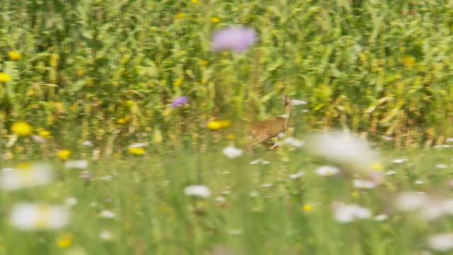 stockvideo's en b-roll-footage met hd: roe deer running in the meadow - er even tussenuit