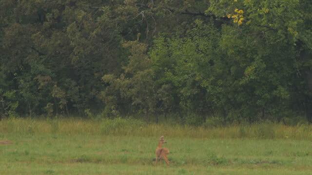 roe deer (capreolus capreolus), russia - antler stock videos & royalty-free footage