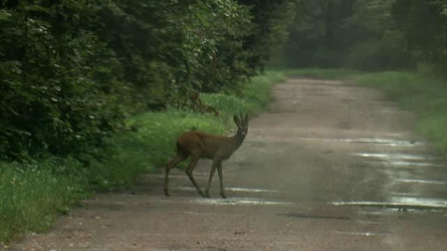 vídeos de stock e filmes b-roll de roe deer - cruzar