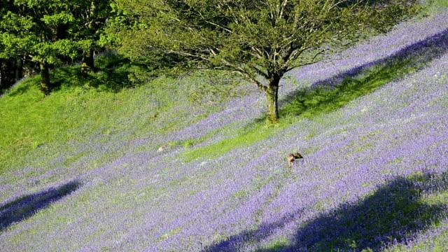 roe deer - springtime stock videos & royalty-free footage