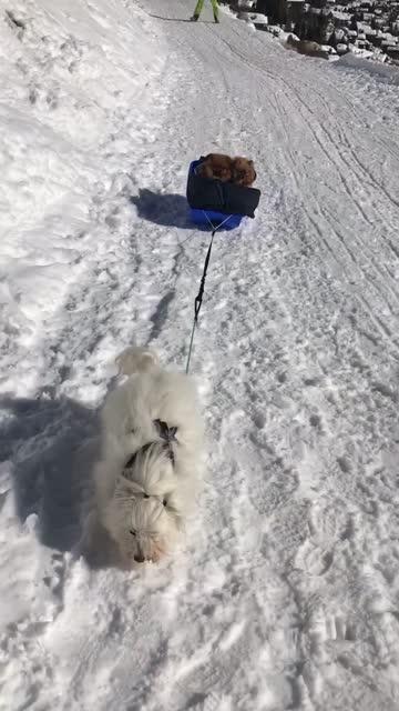 roky, a coton de tulžar, is acting like he's a sled dog for his two little pomeranian friends in the swiss alps. priceless! - knähund bildbanksvideor och videomaterial från bakom kulisserna