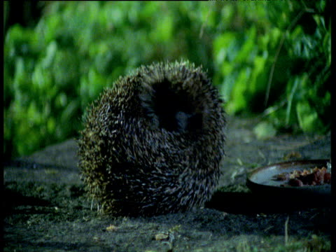 rolled up hedgehog relaxes and walks away, uk - hedgehog stock videos & royalty-free footage