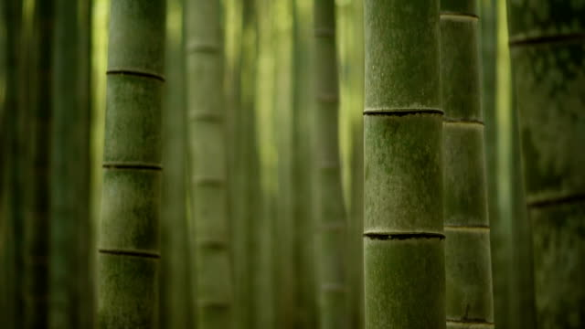 rolling focus through a bamboo forest - bamboo plant stock videos & royalty-free footage