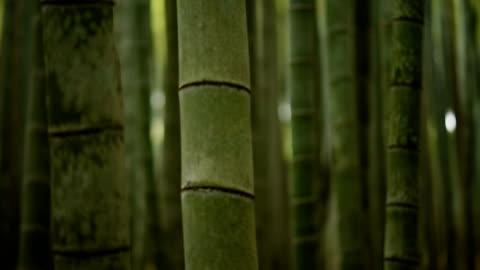 stockvideo's en b-roll-footage met rollende focus door een bamboe-bos - bamboo plant