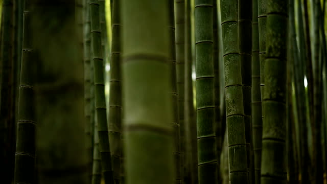 ローリング焦点から竹林 - bamboo plant点の映像素材/bロール