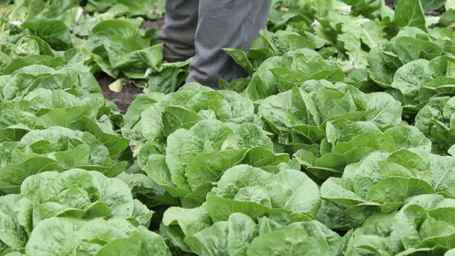 vídeos de stock e filmes b-roll de romaine lettuce harvest on itzke river farm, st. francois xavier, manitoba, canada, on wednesday, june 3, 2019. - alface