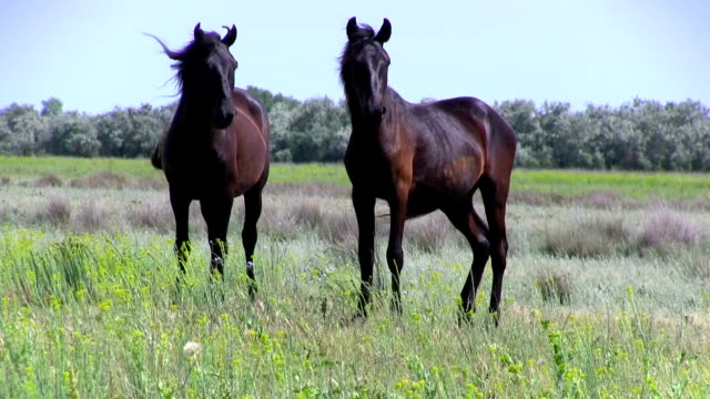 Romania, the horses in Danube Delta