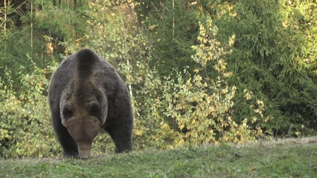 romania which has the largest population of brown bears in europe is experiencing a growing number of bear attacks especially on domestic animals - romania stock videos & royalty-free footage