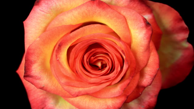 romantic blooming red rose - single flower stock videos & royalty-free footage