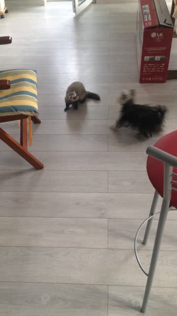 romchy the ferret and deborah the yorkie enjoy an epic new take on the game of tag that involves their owner's slippers. check it out! - take that stock videos & royalty-free footage