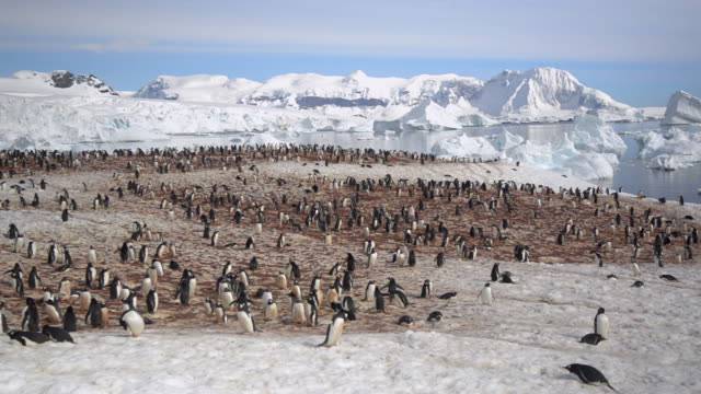 ws rookery of gentoo penguins in snow / cuverville island, antarctica - gefahr stock-videos und b-roll-filmmaterial