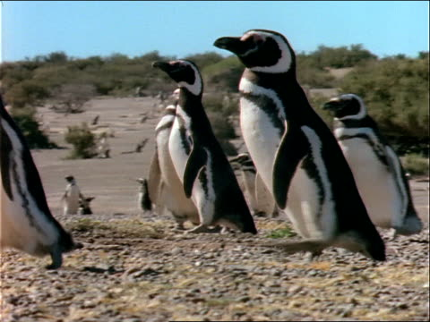 a rookery of penguins walks across a beach. - flightless bird stock videos & royalty-free footage