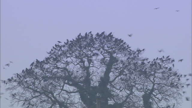 rooks (corvus frugilegus) fly from roost in rookery at dawn, norfolk, uk - perching stock videos & royalty-free footage