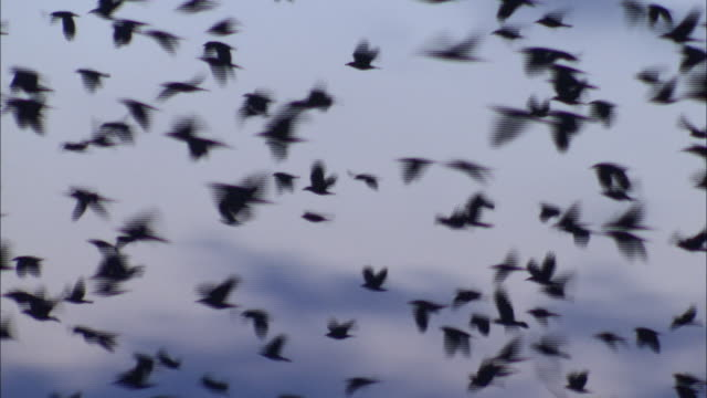 rooks (corvus frugilegus) fly from roost in rookery at dawn, norfolk, uk - crow stock videos & royalty-free footage