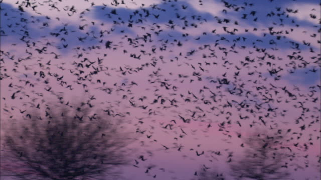 Rooks (Corvus frugilegus) fly from roost in rookery at dawn, Norfolk, UK