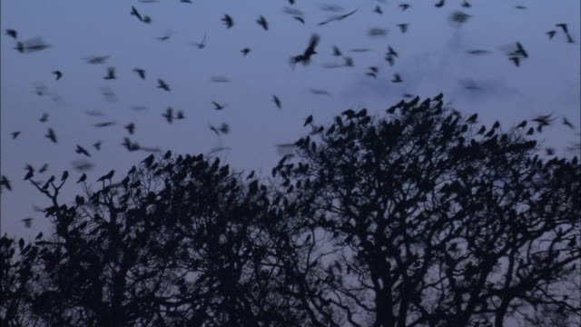 stockvideo's en b-roll-footage met rooks (corvus frugilegus) fly over rookery at dawn, norfolk, uk - neerstrijken